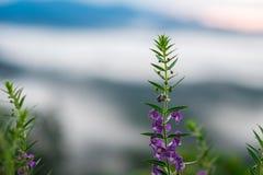 Sluit omhoog de purpere bloem heeft zonsopgang en vage de berg is bedelaars Stock Fotografie
