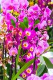 Sluit omhoog de purpere roze achtergrond van orchideebloemen stock afbeeldingen