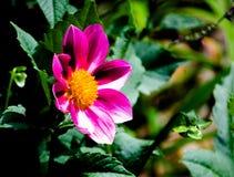 Sluit omhoog de Rode roze 'Zany Rose Picotee ` bloem van Zinnia in een lentetijd bij een botanische tuin stock afbeelding