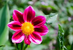 Sluit omhoog de Rode roze 'Zany Rose Picotee ` bloem van Zinnia in een lentetijd bij een botanische tuin stock foto's