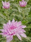 Sluit omhoog de roze mooie bloei van de chrysantenbloem, bloem in tuin, Royalty-vrije Stock Foto's