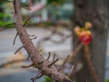 Sluit omhoog de Tak van de kanonskogelboom royalty-vrije stock afbeeldingen