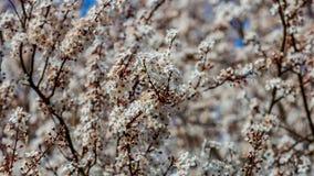 Sluit omhoog de takken van een kersenboom in volledige bloei met zijn witte bloemen royalty-vrije stock afbeelding