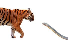 Sluit omhoog de Tijger en Koning Cobra Prepare van Bengalen om elkaar aan te vallen Geïsoleerd op Witte Achtergrond met het Knipp stock foto