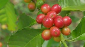 Sluit omhoog de verse organische rode ruwe en rijpe bonen van de koffiekers op t stock videobeelden