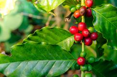 Sluit omhoog de verse organische rode ruwe en rijpe bonen van de koffiekers op t Royalty-vrije Stock Fotografie