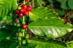 Sluit omhoog de verse organische rode ruwe en rijpe bonen van de koffiekers op t Stock Afbeelding