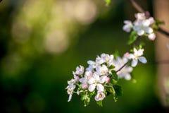 Sluit omhoog de witte bloemen van de appelbloesem en de blauwe achtergrond van de hemellente royalty-vrije stock fotografie