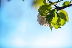 Sluit omhoog de witte bloemen van de appelbloesem en de blauwe achtergrond van de hemellente stock afbeeldingen