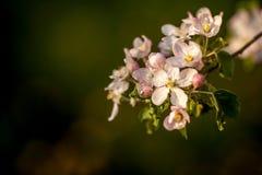 Sluit omhoog de witte bloemen van de appelbloesem en de blauwe achtergrond van de hemellente royalty-vrije stock foto