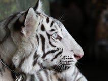 Sluit omhoog de witte leuke tijger Stock Foto's