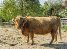 Sluit omhoog dierlijk portret van een koe van de status gehoornde Schotse Hooglander royalty-vrije stock afbeelding