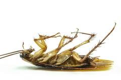 Sluit omhoog Dode kakkerlak isoleren op witte achtergrond stock afbeelding