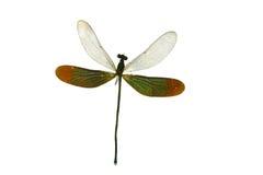 Sluit omhoog draakvlieg die op wit wordt geïsoleerd Stock Foto