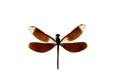Sluit omhoog draakvlieg die op wit wordt geïsoleerd Stock Afbeelding