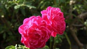 Sluit omhoog dubbele rode rozen in natuurlijk licht stock video