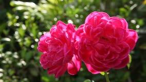 Sluit omhoog dubbele rode rozen in natuurlijk licht stock footage