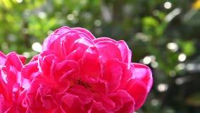 Sluit omhoog dubbele rode rozen in natuurlijk licht stock videobeelden