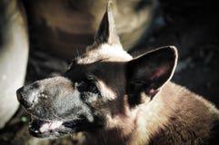 Sluit omhoog Duitse herder of Elzassische, jonge Duitse herder, Duitse herder op het gras, hond in het park Stock Afbeeldingen