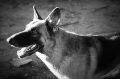Sluit omhoog Duitse herder of Elzassische, jonge Duitse herder, Duitse herder op het gras, hond in het park Royalty-vrije Stock Afbeeldingen