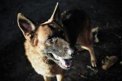 Sluit omhoog Duitse herder of Elzassische, jonge Duitse herder, Duitse herder op het gras, hond in het park Stock Foto's