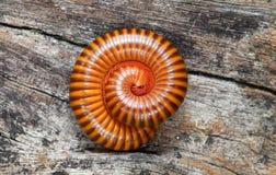Sluit omhoog Duizendpoot (Blaniulidae) in verdedigingspos Stock Foto's