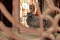 Sluit omhoog een pluizige verstoorde zieke duif stock foto