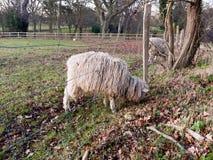 sluit omhoog Engelse Britse landbouwbedrijfschapen het voeden het weiden de herfstkoude Royalty-vrije Stock Foto's