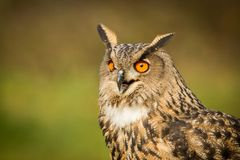 Sluit omhoog Europees-Aziatische Eagle-Uil royalty-vrije stock afbeelding