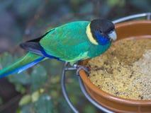 Sluit omhoog exotische kleurrijke zwarte blauwgroene papegaai Australische ring Royalty-vrije Stock Afbeelding