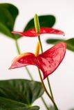 Sluit omhoog foto van Anthuriumbloemen Royalty-vrije Stock Afbeeldingen