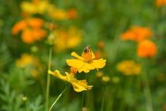 Sluit omhoog foto van bijenarbeider op bloemen Royalty-vrije Stock Foto's