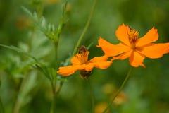 Sluit omhoog foto van bijenarbeider op bloemen Royalty-vrije Stock Afbeelding