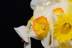 Sluit omhoog foto van boeket van witte en gele gele narcissen op zwarte Stock Fotografie