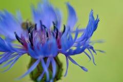 Sluit omhoog foto van een heldere blauwe graanbloem stock fotografie