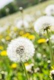 Sluit omhoog foto van mooie paardebloemen in de lenteweide Stock Foto