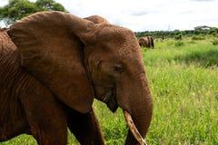 Sluit omhoog foto van olifanten in groen gras lopend van de kant royalty-vrije stock foto