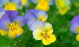 Sluit omhoog foto van viooltjes Stock Afbeelding