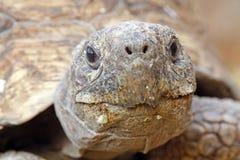 Sluit omhoog frontaal van een schildpadgezicht Stock Afbeeldingen