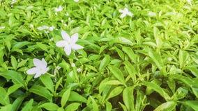 Sluit omhoog Gardenia Crape Jasmine Tree met groene bladeren en witte Bloem met dalingen van water op de bladeren en zonlicht in stock afbeelding