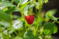 Sluit omhoog geïsoleerde mening van aardbeien Wit en rood in nadruk Mooie aardachtergrond Stock Fotografie