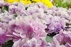 Sluit omhoog gebied van zachte roze hydrangea hortensiabloem Stock Foto's