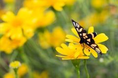 Sluit omhoog geel madeliefje in tuin en vlinder royalty-vrije stock foto