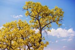 Sluit omhoog gele boom met blauwe hemel Stock Fotografie