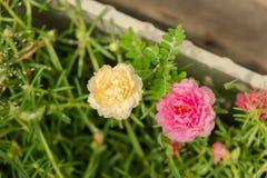 Sluit omhoog gele en roze portulacabloem stock foto