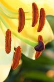 Sluit omhoog gele lilium Royalty-vrije Stock Afbeeldingen