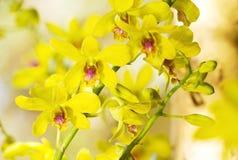 Sluit omhoog gele tropische orchidee Stock Fotografie