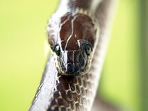 Sluit omhoog geschoten van bruine slang stock fotografie