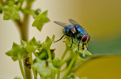 Sluit omhoog geschoten van een fruitvlieg Stock Fotografie