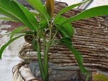 Sluit omhoog geschoten van een mangoboom die geplant/in het Verenigd Koninkrijk groeien stock fotografie